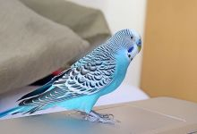Photo of Can a Budgie be left alone?