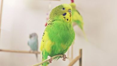 Photo of Budgerigar Cage to Buy? What to consider?