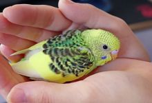 Photo of Budgie Babies and why you shouldn't breed