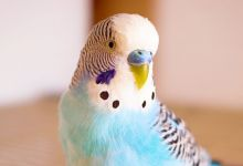Photo of Can Budgie siblings mate | Breeding?