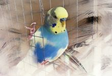 Photo of Budgie Color and Color Mutation