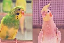 Photo of Cockatiel or Budgie- What should you get?