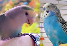 Photo of Lovebirds or Budgies? Difference between