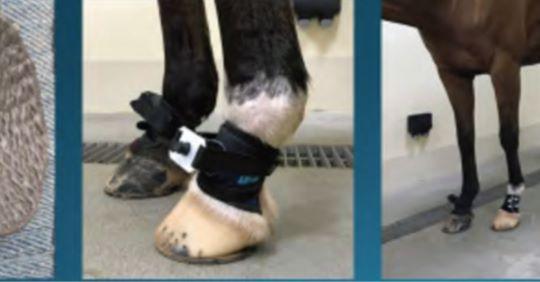 Mechanical nociceptive thresholds in endurance horses