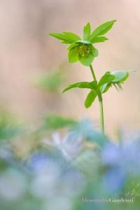 H. viridis