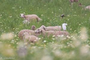 """Guarda """"pecore"""""""
