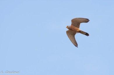 Falco grillaio con preda