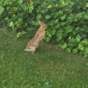 Il coniglio scappa per sopravvivere, l'uomo in amore spesso per vigliaccheria