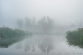 Eucalyptus and reed in morning fog at the old ranch pond of 4S Ranch, San Diego, CA.