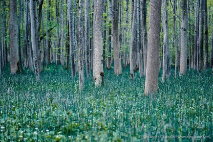 Trees and horsetail in the floodplain forest at Ettenau, Austria.