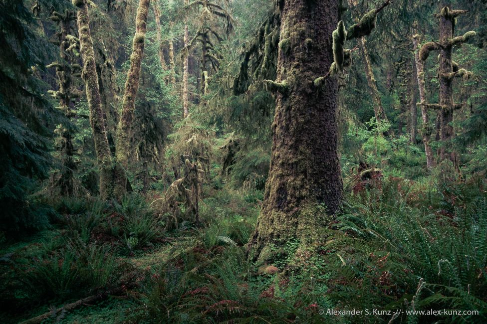Densely overgrown Coastal forest at Ecola State Park, Oregon. USA. May 2013.