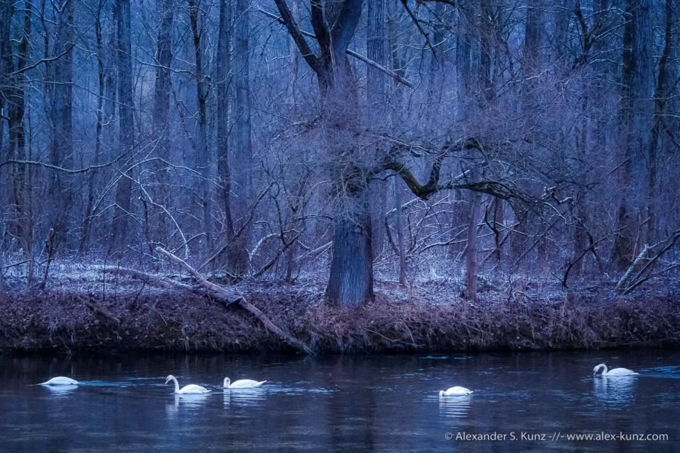 Dreamy photo of a group of trumpeteer swans at the Salzach river in Bavaria, Germany on a winter afternoon.