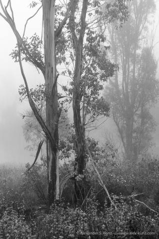 Eucalyptus trees in morning fog, in the hills around 4S Ranch, San Diego, California. October 2013.