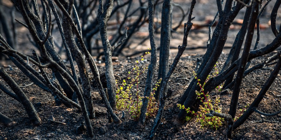 Splants resprouting after the Bernardo Fire in May 2014, San Diego, California. July 2014.
