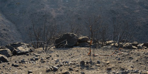 Landscape after the Bernardo Fire (May 2014), San Diego, California. July 2014.