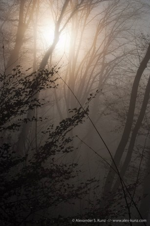 Forest, Foggy Morning