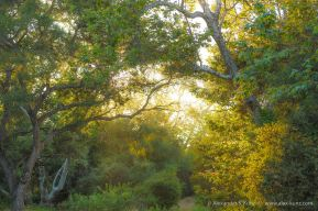 Backlit Trees at Penasquitos Canyon Preserve, San Diego, California