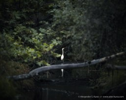 Great Egret at Penasquitos Canyon Preserve, San Diego, California
