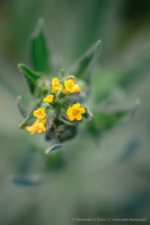 Common Fiddleneck I -- San Dieguito River Park, Rancho Bernardo, California, United States