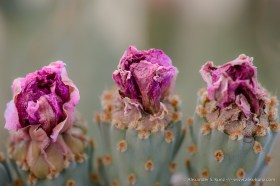 Withering Beavertail Cactus Flowers