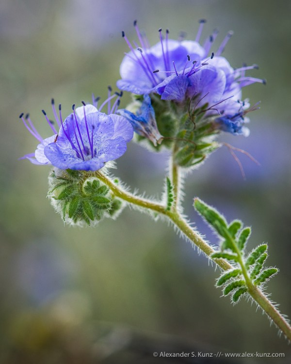 Common Phacelia