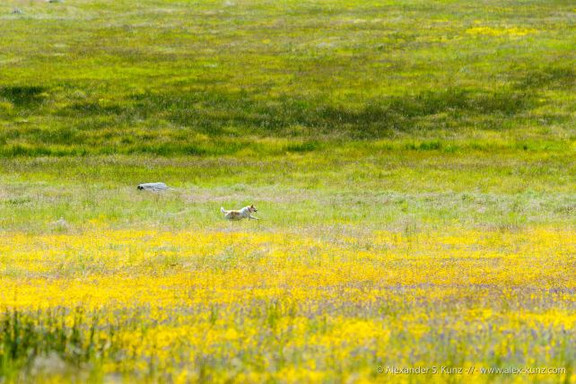 Little dog Toni running through the wildflowers, Laguna Meadows, CA