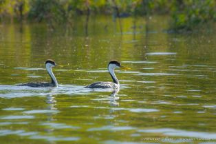 Western Grebes at Lake Hodges, San Diego. Two adults.