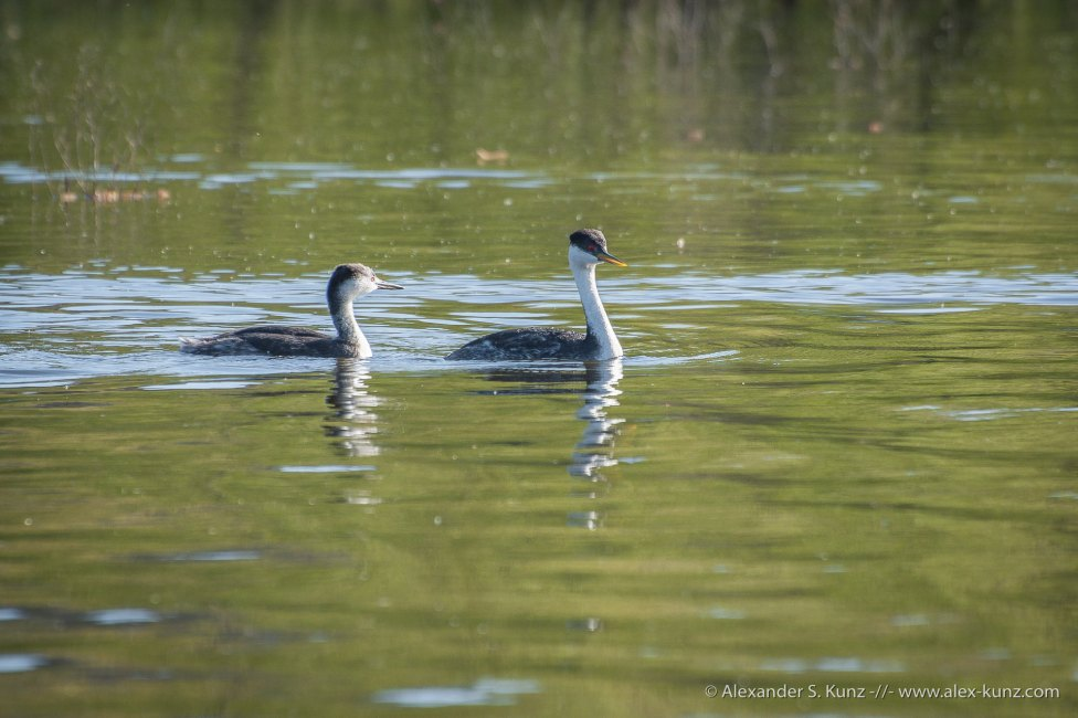 Western Grebes at Lake Hodges, San Diego. Chick and adult.