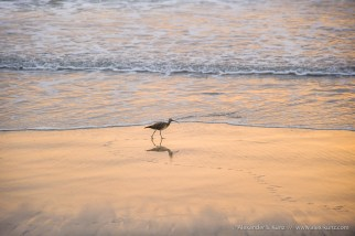 Long-billed Curlew -- Torrey Pines State Beach, San Diego, California, USA