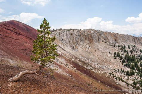 Pine at Mammoth Crest -- Mammoth Crest, Mammoth Lakes, California, United States