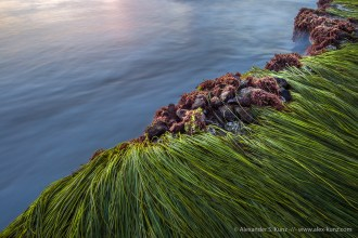 Surfgrass & Mussels -- Seaside Beach, Cardiff By The Sea, California, United States