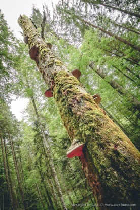 Dead tree with shrooms in the forest near Adlgass, Inzell, Bavaria. June 2008.