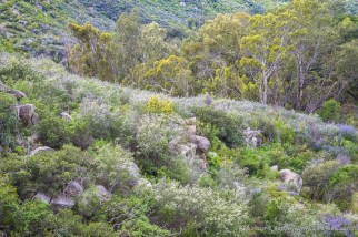 Ceanothus & Eucalyptus down by Hell Creek, at Hellhole Canyon County Preserve, Valley Center, California. March 2016.