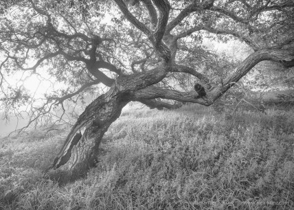 Coast Live Oak in morning fog, Highland Valley Trail, Rancho Bernardo, California. March 2016.