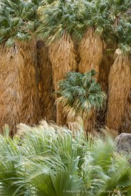 Palm trees at the first grove in Borrego Palm Canyon, Borrego Springs, California, January 2017.