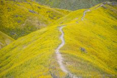Toni running on a path through wildflowers in the Temblor Range, Carrizo Plain National Monument, California, April 2017.