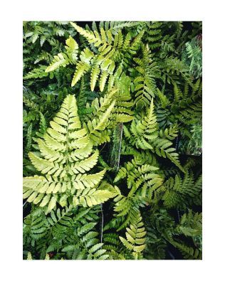 Outdoor Ferns