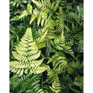 Outdoor Ferns