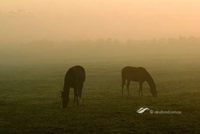 Horses grazing in paddocks, misty morning, Pemberton, Western Australia