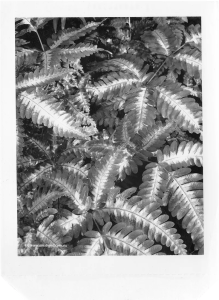 silver lace ferns polaroid type 55