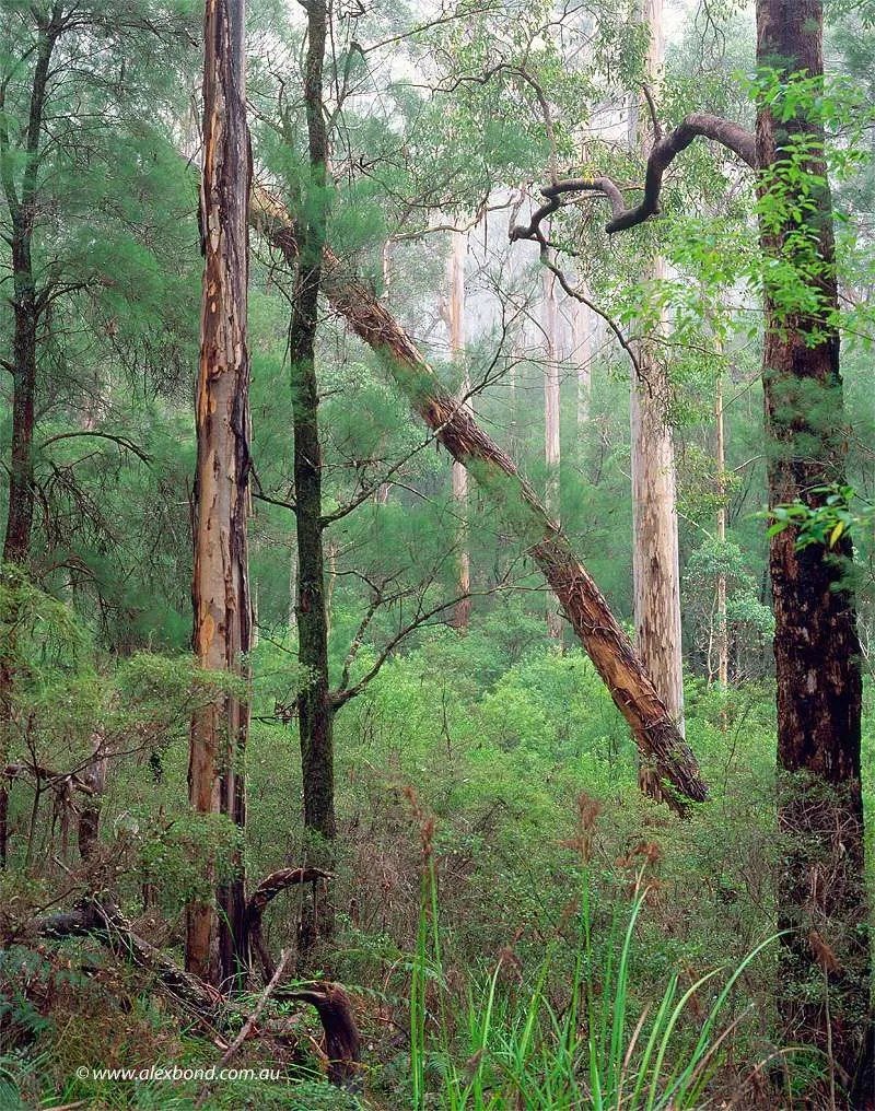 Karri forest Shannon National Park Northcliffe region