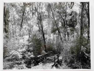 Karri forest Shannon 11x14 silver gelatin