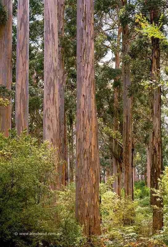 The Four Aces karri trees Manjimup