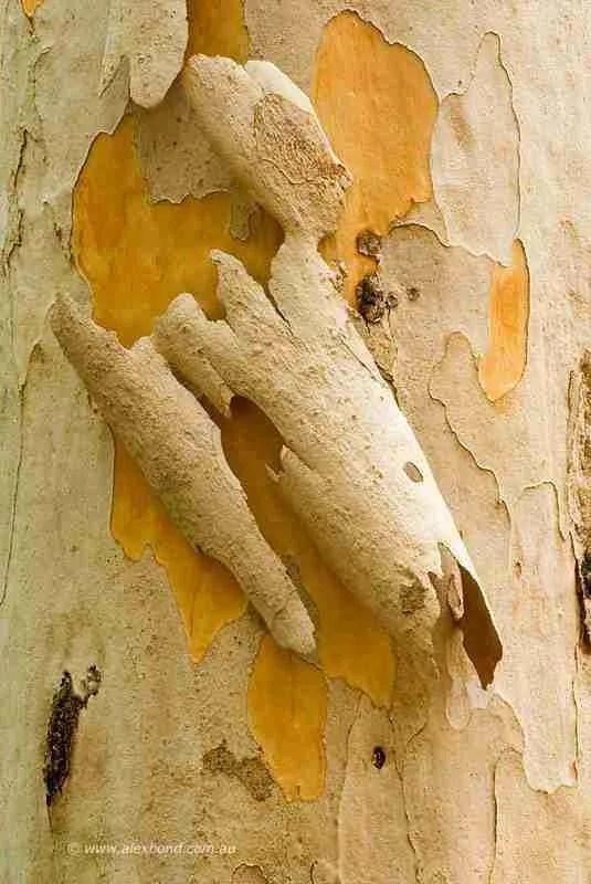 moulting karri tree bark detail