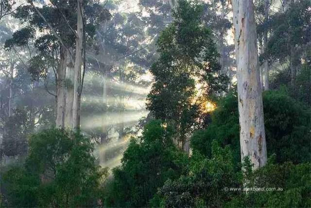 Sunburst through the karri forest at dawn, Big Brook Dam