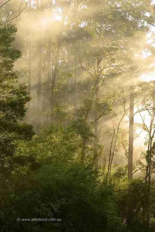 karri forest pemberton sunrise
