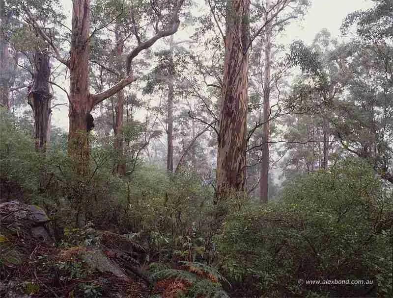Karri forest light rain Mount Frankland Walpole