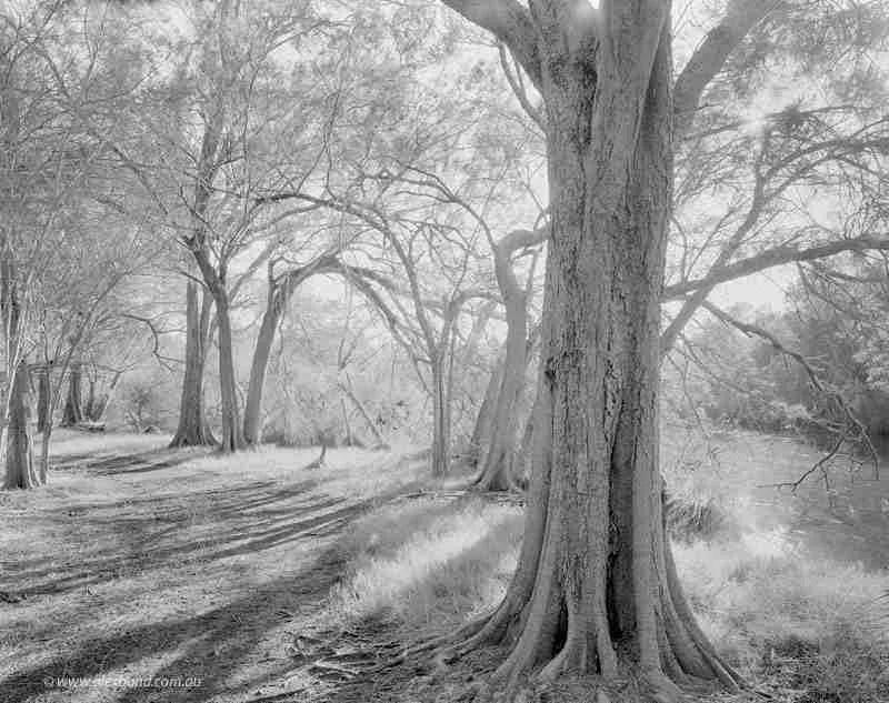 She-oak Forest, Canning River 40x50cm Print Framed Aluminium 74.5cm x 61.5cm 1 of 10 ed