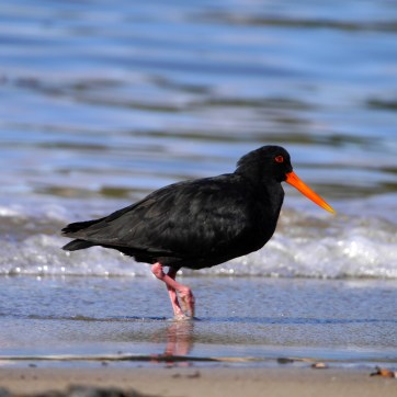 Our second oystercatcher sighting