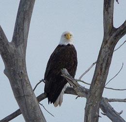 Bald Eagle February 6, 2014